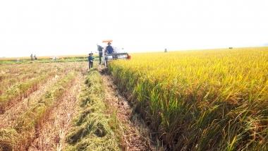 Năm 2016, dự kiến chuyển đổi 100.000 ha đất lúa sang cây trồng khác