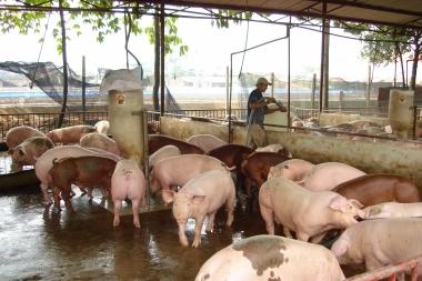 Xử phạt đến 100 triệu đồng đối với sử dụng chất cấm trong chăn nuôi