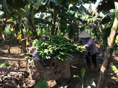 Chuối ế, heo rớt giá và chuyện không mới của nông nghiệp Việt