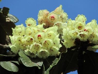 Sa Pa hút du khách với lễ hội hoa đỗ quyên
