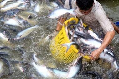 Về phán quyết của Hoa Kỳ đối với cá tra: Có thể khiếu kiện lên Tòa quốc tế