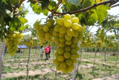Thịnh hành tour du lịch nông nghiệp ở Ninh Thuận