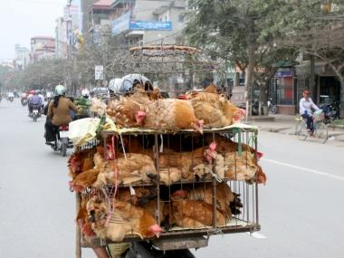 Tăng cường  quản lý vận chuyển, giết mổ động vật