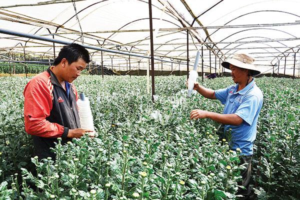 Thanh niên Đà Lạt liên kết xây dựng THT sản xuất hoa