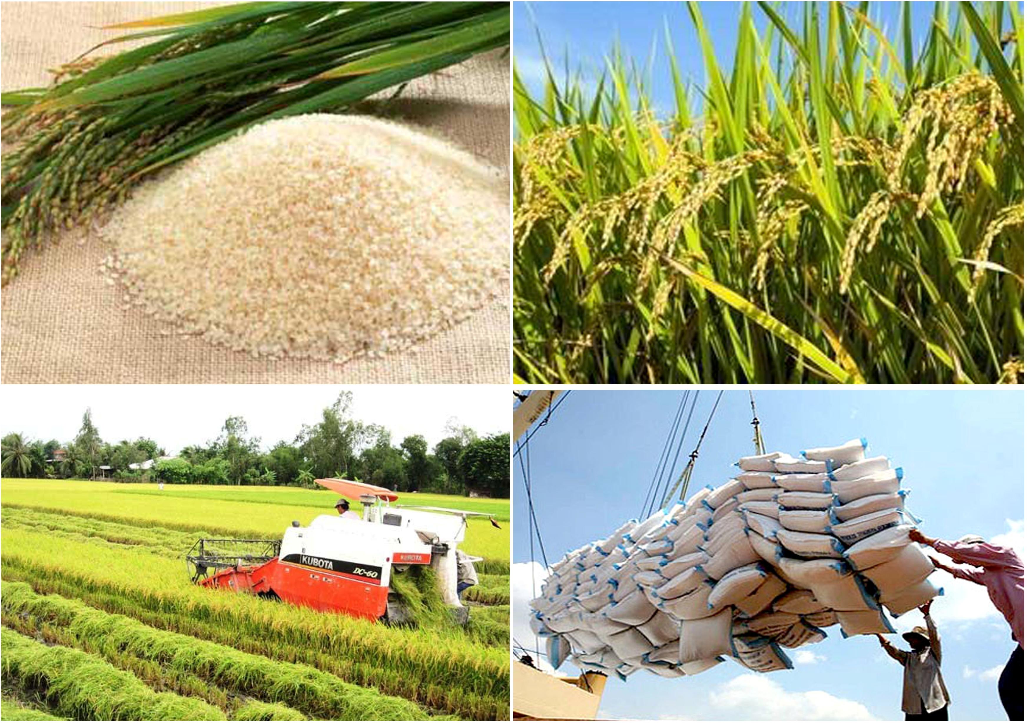 Tích cực triển khai Đề án phát triển thương hiệu gạo Việt Nam