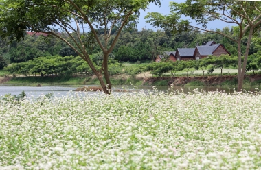 Hoa tam giác mạch nở rộ trên cao nguyên Lâm Đồng