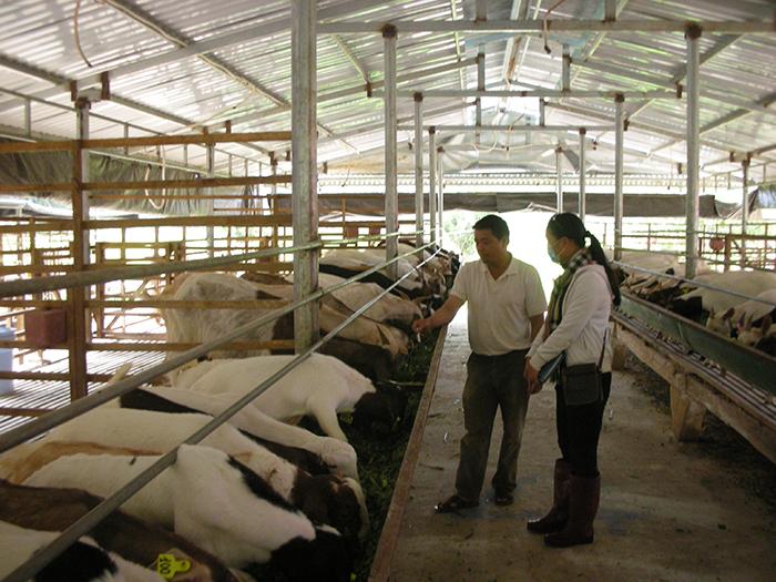 Chăn nuôi giống Dê Thái ở Lâm Đồng - Mô hình cần được nhân rộng trong phát triển KTTT của thanh niên