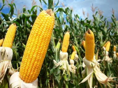 Ngô đang chịu sức ép giảm giá do USDA nâng dự báo sản lượng ngô thế giới