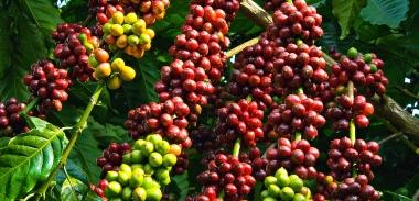 Đầu tư 170 tỷ đồng xây dựng cà phê Việt chất lượng cao