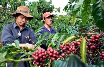 Tái canh cây cà phê: Không dễ!