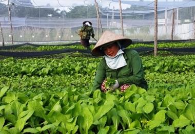 TP. HCM: Hỗ trợ 50% chi phí cho nông dân chuyển đổi chăn nuôi, trồng trọt sang VietGap