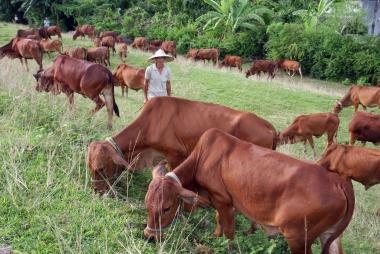Vùng Tây Bắc cần đẩy mạnh chăn nuôi tập trung