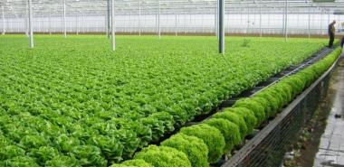 Hà Nội đẩy mạnh phát triển sản xuất rau an toàn