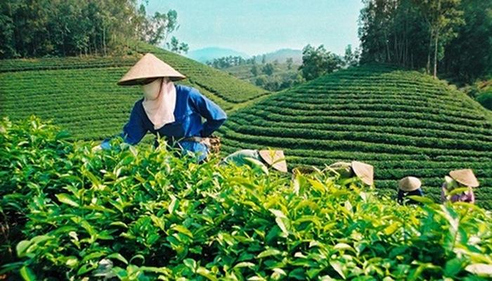 Hàm ý chính sách từ việc so sánh giới hạn dư lượng thuốc bảo vệ thực vật đối với chè xuất khẩu của Việt Nam và EU