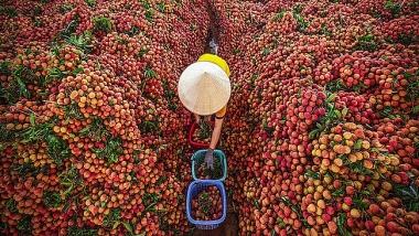 Gần 100.000 tấn vải thiều của Bắc Giang và Hải Dương đã đến người tiêu dùng