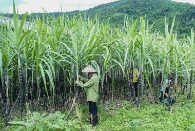 Việt Nam áp thuế chống bán phá giá ở mức 47,64% với đường mía Thái Lan